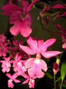 Орхидея Каланта - Calanthe Repens
