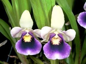 Орхидея Кохлеантес