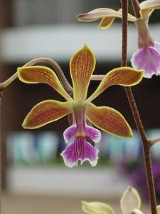 Орхидея Энциклия фото