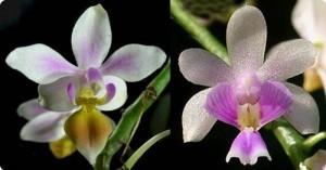 Орхидея Кингидиум