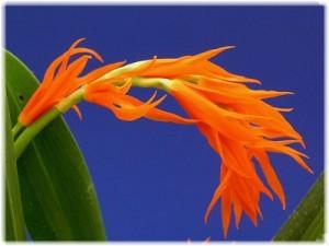 Орхидея Ада уход