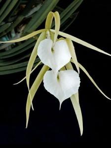 Орхидея Брассавола