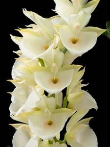 фото орхидеи Катазетум (Catasetum)