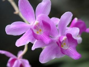 Орхидея Доритис