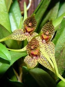 Орхидея Дриаделла