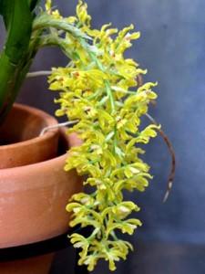 Орхидея Гомеза