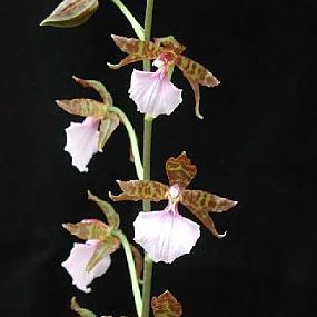 Орхидея Лембоглоссум