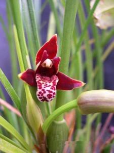 Орхидея Максиллярия (Maxillaria)
