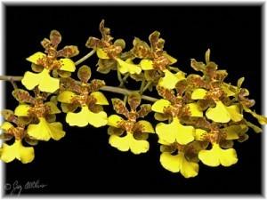 Фотография орхидеи Онцидиум