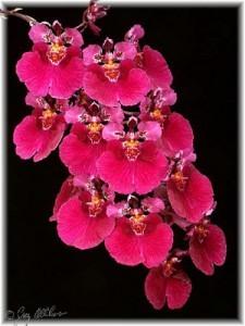 Орхидея Онцидиум (Oncidium)