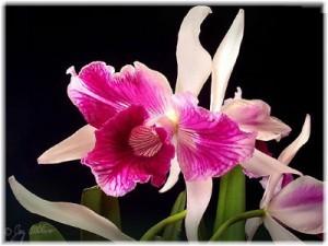 Орхидея Лелия (Laelia)