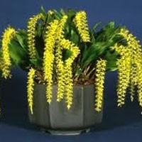 Орхидея Дендрохилум