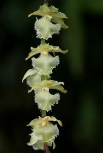 Орхидея Диафананта