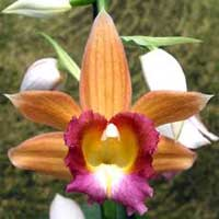 Орхидея Фаюс