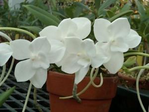 Орхидея Амезиелла