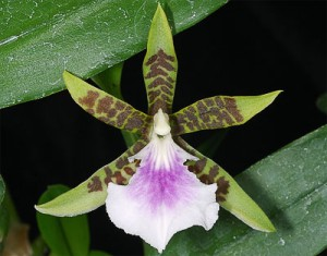 Орхидея Аспазия