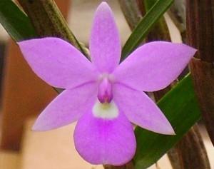 Орхидея Димерандра