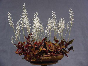 Орхидея Гемария (Haemaria)