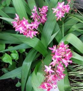 Орхидея Блетилла (Bletilla striata)