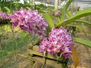 Орхидея Аеридес (Аэридес)